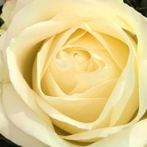 Ruusu valkoinen pitkä